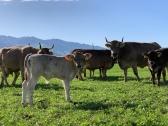 Kühe und Kälber auf dem Rosenbergerhof